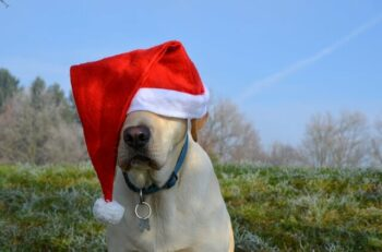 Yellow Labrador dog wearing a Santa hat covering his eyes.
