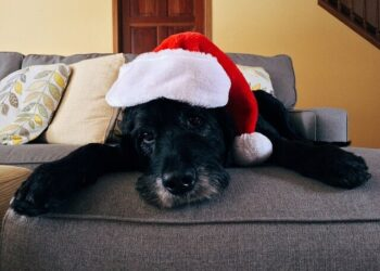 Black puppy wearing a red Santa hat laying on the couch.