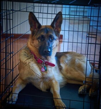 German Shepherd Dog laying in a dog crate.