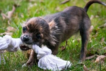 Best Teething Toys For Puppies - Small brown puppy chewing on a large white rope toy.