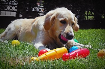 Best Toys For Golden Retrievers - Golden Retriever laying on grass with a pink ball in mouth and other toys scattered around.