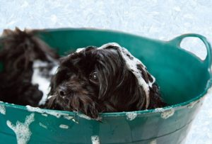 Black schnauzer puppy in green wash tub with suds.