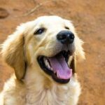 What Golden Retrievers Need - 9 Things Every Golden Requires!