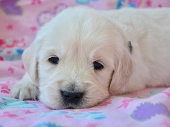 White Golden Retriever Puppy Laying On Pink Blanket.