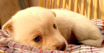 Golden Retriever puppy laying on plaid blanket.
