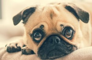 Pug Dog Looking At You.