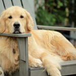 What Is Bad About Golden Retrievers?[13 Surprising Faults]