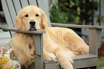What Is Bad About Golden Retrievers - Golden Retriever laying on an Adirondack chair looking at you.