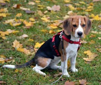Beagle dog sitting in grass.