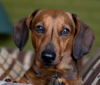 Brown Dachshund.
