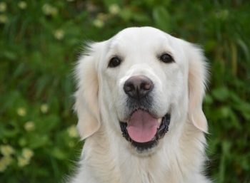 White Golden Retriever smiling.