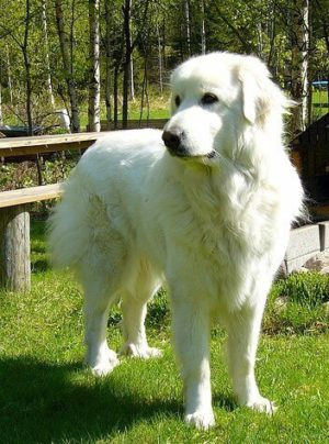Great Pyrenees Dog standing outside.