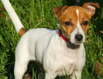 Jack Russell Terrier standing in field of grass.