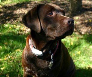 Chocolate Labrador Retriever.