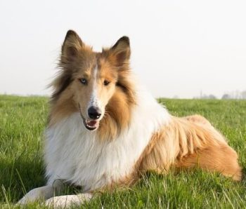 Rough Collie laying in field of grass.