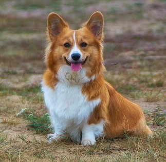 Welsh Corgi sitting in a field.