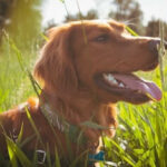 Is Eating Grass Bad For Dogs?[Plus Reasons Why Dogs Eat It]