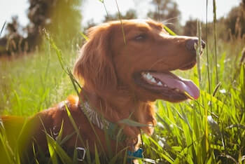 Is Eating Grass Bad For Dogs - Golden Retriever laying in grass.