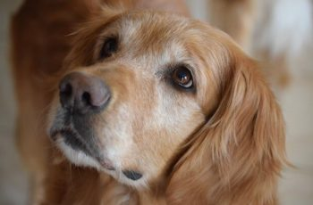 Aging Golden Retriever Health Problems