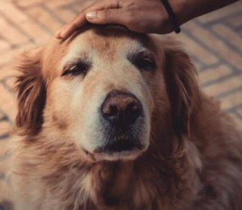 Senior Golden Retriever getting petted on the head.