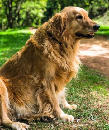 Golden Retriever sitting on the grass.