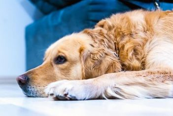 Senior Golden Retriever laying on the floor.