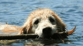 Senior Golden Retriever swimming with a stick in mouth.