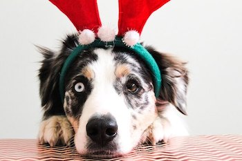 Christmas Gifts For A Dog - Australian Shepherd wearing a red reindeer antler headband.