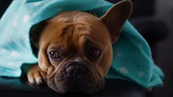 Brown Boxer dog wrapped in a blue fleece blanket.