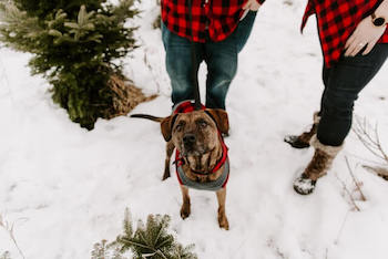 Christmas Sweaters For Large Dogs - Shepherd dog standing in the snow wearing a red checkered sweater.