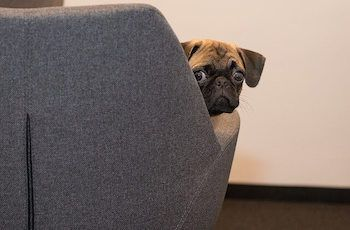 Pug dog sitting on a grey chair looking back and hiding.