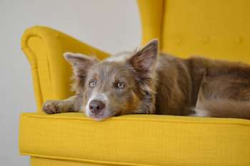 Australian Shepherd laying on a bright yellow chair.