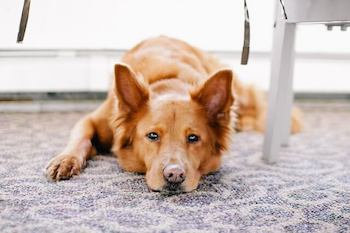 Brown dog laying on a carpeted floor looking at you.