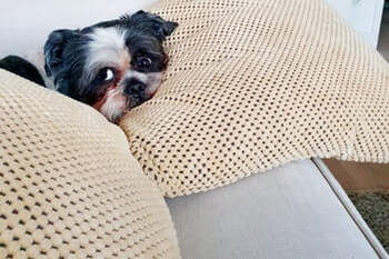 Small black and white dog lying on the couch hiding behind 2 couch cushions.