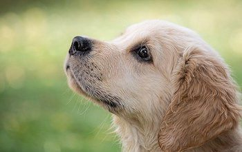 Best Treats For Golden Retrievers - Golden Retriever puppy focusing on training, looking up.