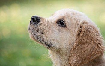Best Treats For Golden Retrievers - Golden Retriever puppy focusing on training, looking up.