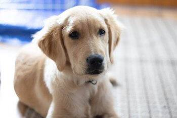 Best Treats For Golden Retrievers - Golden Retriever puppy laying on the floor looking up.