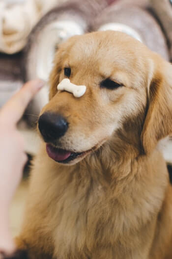 Best Treats For Golden Retrievers - Golden Retriever with a dog treat on his nose.