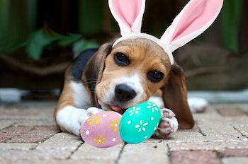 Easter Outfits For Dogs- Beagle puppy wearing bunny ears laying in front of 2 plastic Easter eggs.