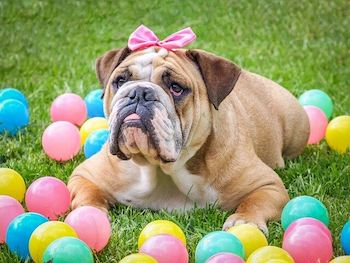 Easter Toys For Dogs - Bulldog wearing a pink bow on her head, lying on grass with bright coloured balls all around.