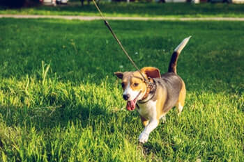 Beagle dog running in a field of grass on leash.