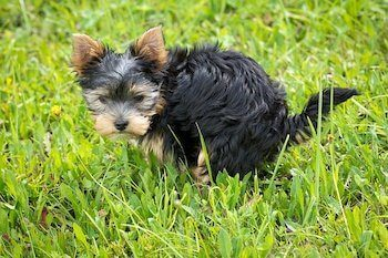Small dog pooping in the grass.