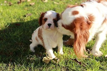 Small brown and white mother dog licking her pup outside on the grass.