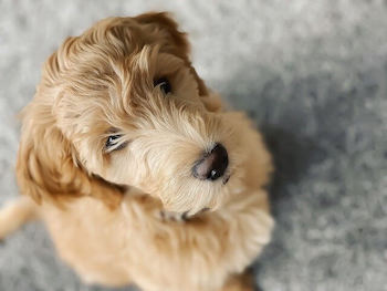 Best Clippers For Dog Grooming - Goldendoodle puppy looking at you.