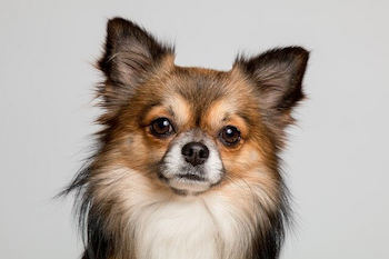 Best Clippers For Dog Grooming - Chihuahua dog looking at you.