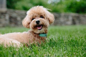 Best Clippers For Dog Grooming - Labradoodle puppy laying in the grass looking happy.