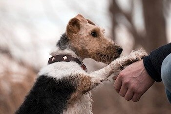 Terrier dog giving paw to his owner.