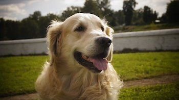 How To Trim A Golden Retriever - Headshot of a Golden Retriever looking happy.