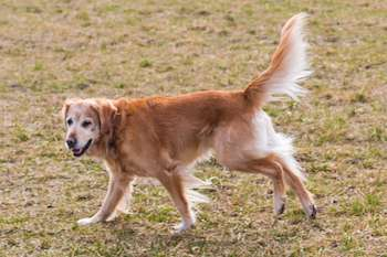 How To Trim A Golden Retriever - Golden Retriever side profile showing the feathering.