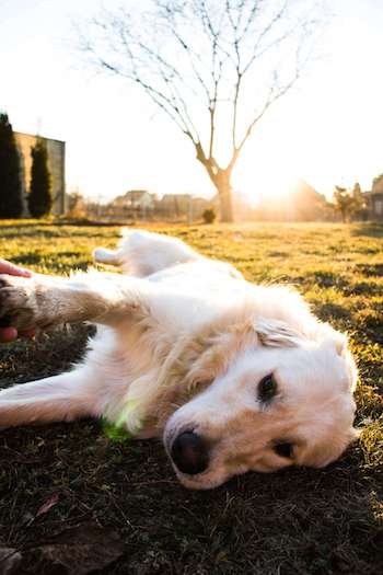 How To Trim A Golden Retriever - Golden Retriever laying on his side with one paw held by his owner.